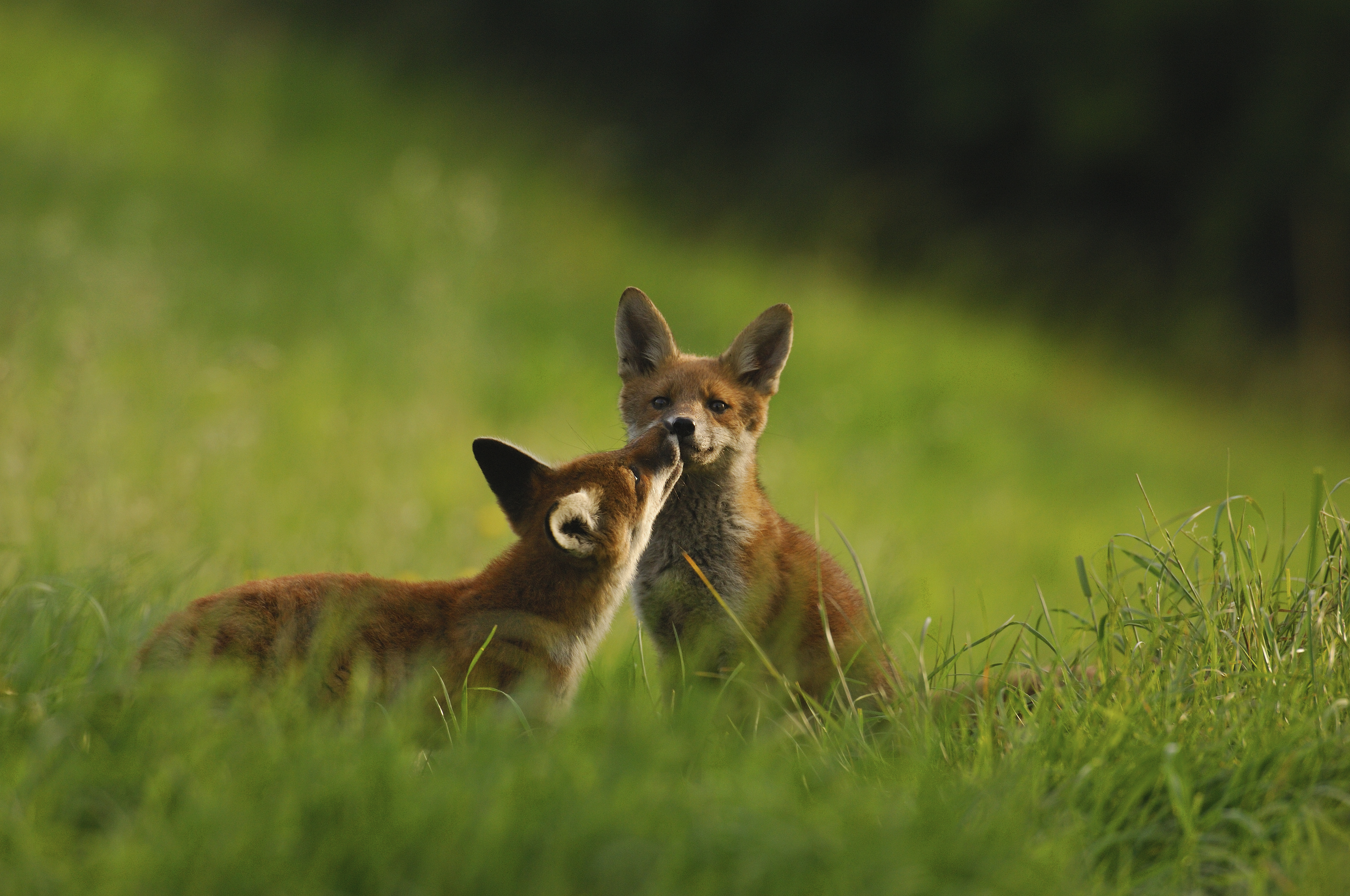 Two wild foxes playing in grass